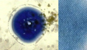 Bacterial Indigo: Indigo, the dye used to stain jeans blue, was traditionally extracted from plants of the genus Indigofera. Today, however, the several thousand tons of indigo used  each year is synthetic and produced by industrial processes with obvious consequences for the environment. This is a project which seeks to develop a sustainable form of indigo using the bacterium Vogesella indigofera. This rare blue naturally pigmented bacterium was originally isolated from a pond that had been used as a dump for highly toxic chemical waste and I find it intriguing that something so beautiful could arise from such a polluted environment.