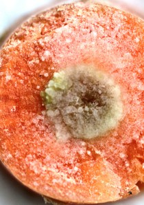 A carrot infected with Agrobacterium tumefaciens. The greenish mass of cells in the middle is a bacterogenic  tumour.