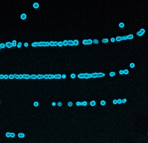 Single colonies of Photobacterium phosphoreum HB imaged by their own bioluminescence