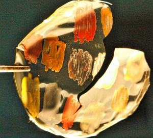 The coloured bacteria preserved in a thin glassy film.
